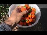 Клубника Альбион (ремонтная садовая земляника)