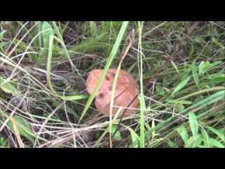 VLOG: гуляем в лесу, собираем грибы