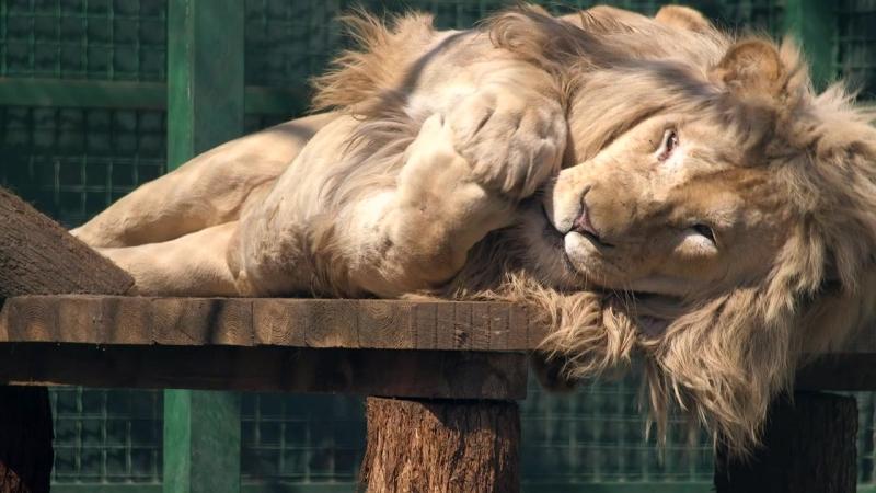 Снаружи лев внутри котенок