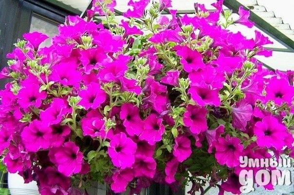 8 ПРАВИЛ УСПЕШНОГО ВЫРАЩИВАНИЯ АМПЕЛЬНЫХ СОРТОВ ПЕТУНИЙ. 1. Главное условие успеха - качественные семена. Лучшие общепризнанные сорта ампельных петуний: Fortunia (в нескольких расцветках), Easy Wave (5 расцветок), Wave (5 расцветок), Tidal Wave (4 расцветки), Typhoon Wave (4 расцветки), Tornado ( 4 расцветки), Ramblin ( 8 расцветок). Семена сохраняют всхожесть в домашних условиях хранения до нескольких лет. 2. Качественный грунт. Петуниям необходим питательный, рыхлый грунт, хорошо…