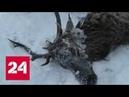 В окрестностях Байкала охотники спасли провалившегося в полынью изюбра Россия 24