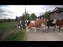 Коровы спасенные с бойни впервые попали на свободу