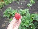 Кент - один из самых сладких ранних сортов земляники садовой клубники