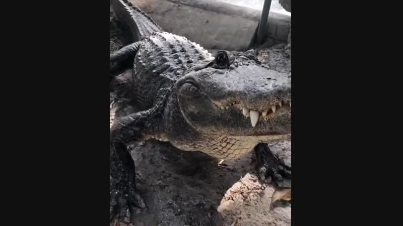 рычание алигатора