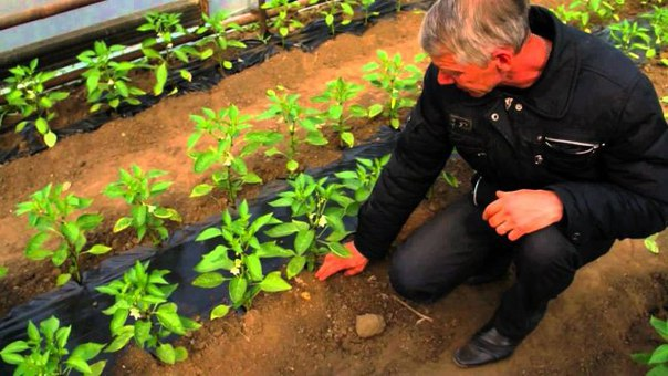 Бизнес-идея: Выращивание перцев круглогодично  Начальные вложения: 8