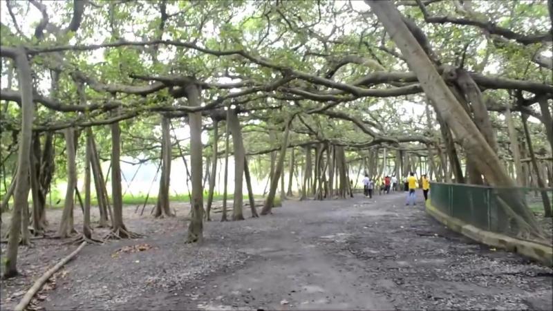 The_Great_Banyan_-_Widest_tree_in_the_world_at__Indian_Botanic_Garden,_Howrah,_KOlkata.mp4