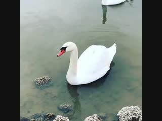 Белоснежные лебеди