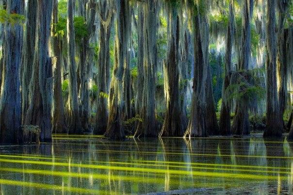 Сказочные кипарисы на озере Каддо в Техасе, США
