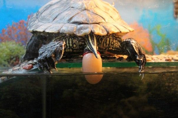 Как выглядит беременная красноухая черепаха 60
