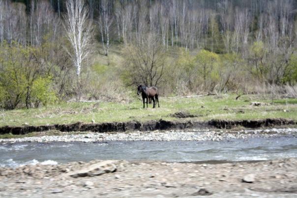 Лошади тут «вольные». Они пасуться где захотят и когда захотят. Рождаются на воле.  Как только хозяину нужна лошадь, он берёт аркан и приручает лошадь. Она помогает ездить и пахать. Но в целом, лошади просто слоняются.