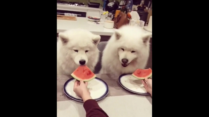 Samoyeds eat watermelon🍉