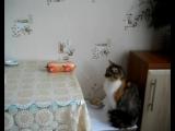 Колбаса и кошка