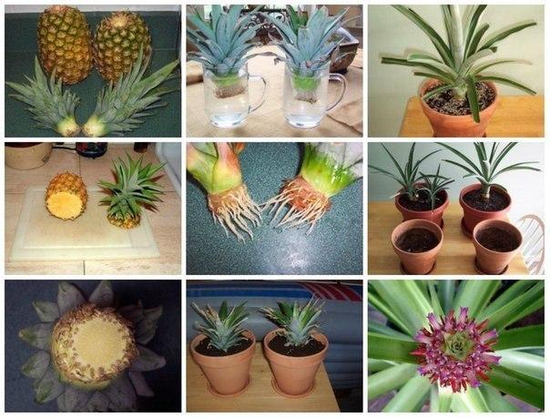 Как вырастить ананас из купленного в магазине плода за 4 шага! Давняя мечта вырастить у себя дома ананас может осуществиться, тем более с использованием бросового материала для посадки.Как