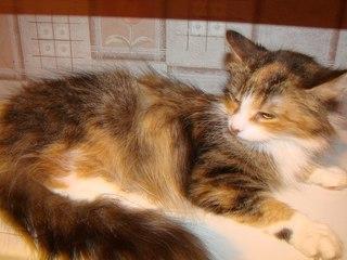 Британский кот и трехцветная кошка - YouTube