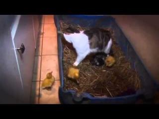 Annelik Duygusu (Kedinin Ördek Yavruları) -  - Belgesel Arşivi