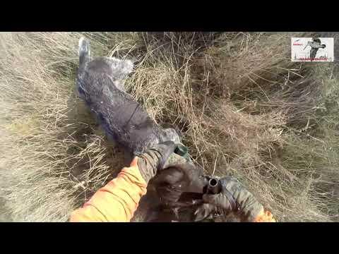 Охота с дратхаарами на фазанов, Юг России, Ростовская обл. октябрь 18г.