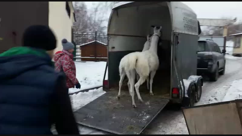 С нами ездят ламы 😉😍