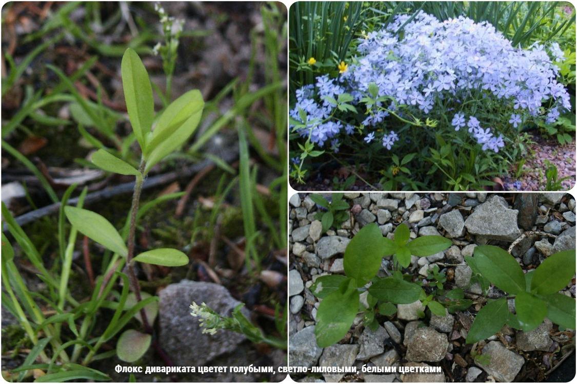 Особенности выращивания флоксов из семян и разные варианты посадки