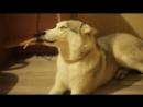 Собачка извиняется за свои проделки