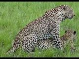 Гепард- самое быстрое животное в мире. На этой охоте спешить некуда. Секс гепарда.