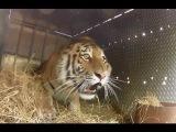 Амурских тигров отпускают на волю. В дикой природе их осталось всего 360 особей!