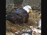 Cute_Eaglets_Came_out_and_being_Feed_by_Mother_Eagle_!!!.mp4