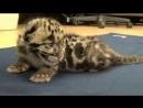 Baby leopard lets out mighty roar
