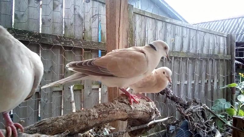 Один голубь прогоняет других голубей