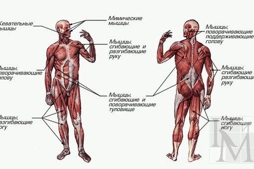 Таблица функции всех мышц