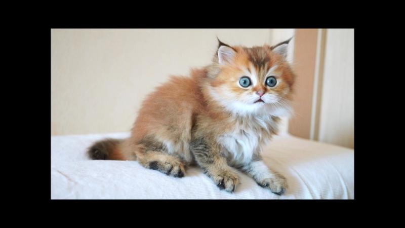 Доброго дня и неутомимой котячьей энергии всем от Киви Питомник Лисёнок Вуки