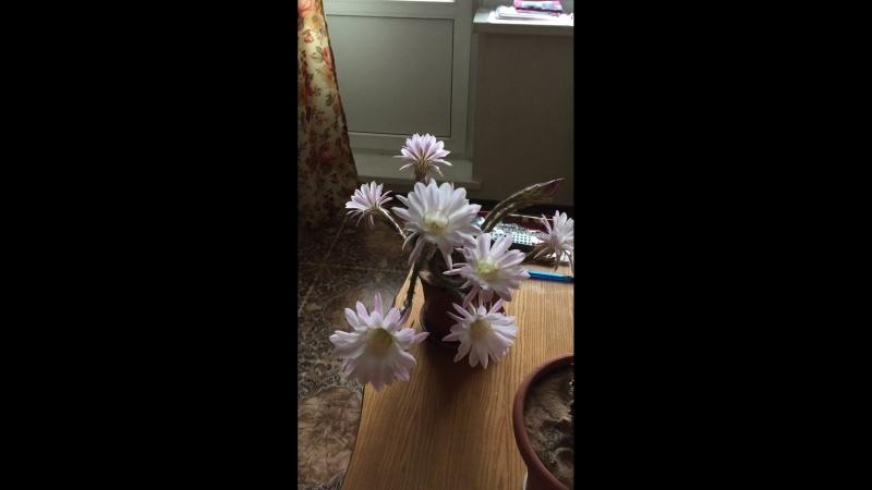 Чудо цветения наших кактусов