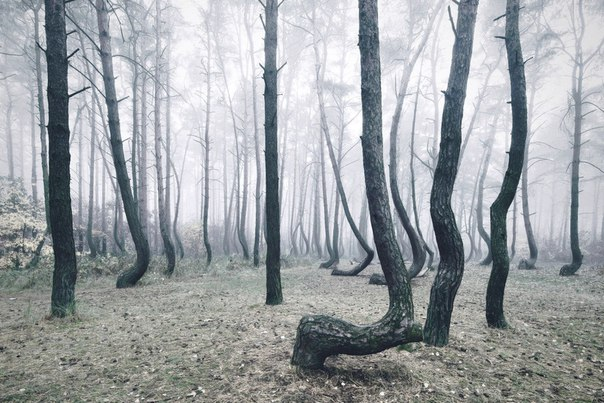 Poland's Mystical Crooked Forest.