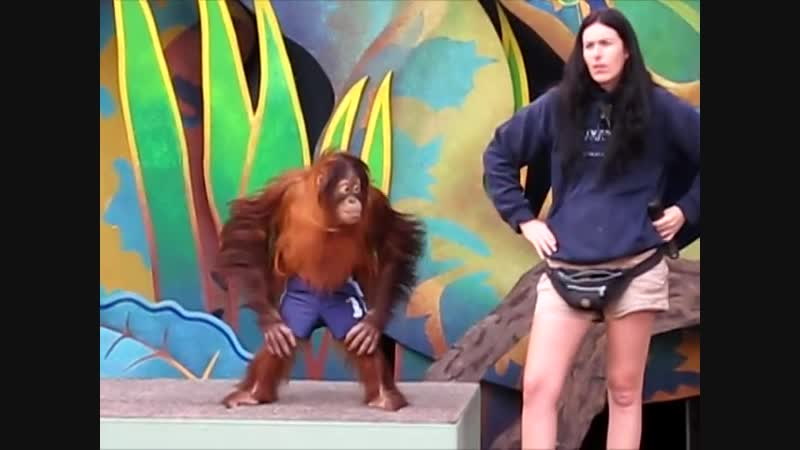 Monkeys Very Smart Orang Utan - EXTREMELY FUNNY
