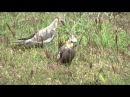 дикие кареллы самец и самка - едят свинорой Cynodon dactylon L