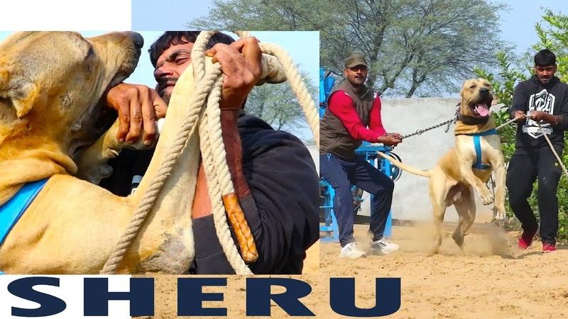 SHERU BULLY DOG 1st Time Owner