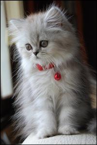 Коты персы отдам