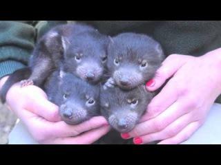Маленькие тасманийские дьяволы
