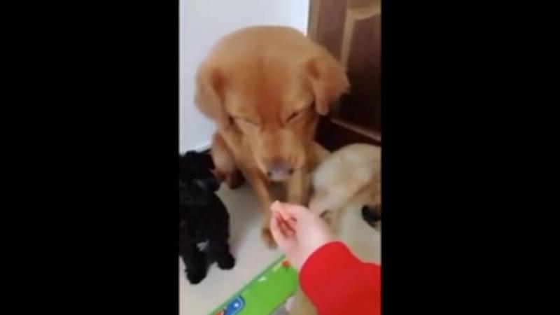 Невиданная щедрость собаки Золото ретривер по кличке Ну Ну