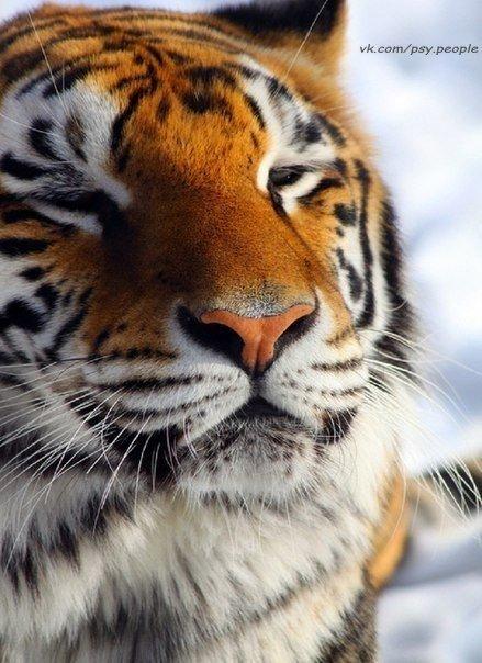 Милый тигреша.