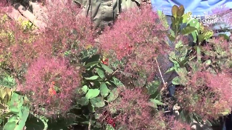 Кустарники для сада Скумпия розовое облако. Сайт Садовый мир