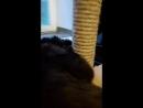 Продаётся мальчик породы гигантских кошек Мейн кун. Др.29.11.16г. Вопросы в личном сообщении.