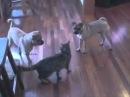 1 kedi 2 kopek vs dovus müsabakası
