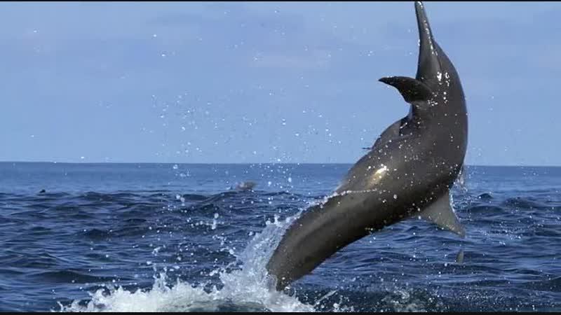 Дельфины Шпион в стае Dolphins Spy In The Pod 2014 Часть 1