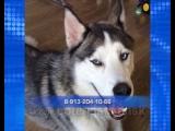 В Новосибирске пропала собака по кличке Кай