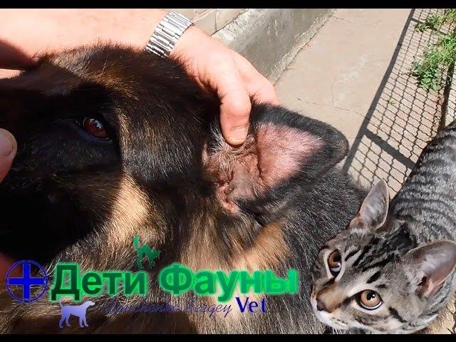 Гематома уха у собаки Лечение гематомы уха Советы ветеринара