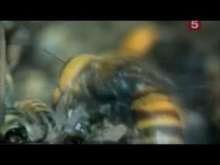 Будда, пчёлы и королева гигантских шершней 3-5