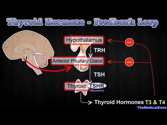 Thyroid Hormone Regulation - Negative Feedback Loop [Hypothalamus and Anterior Pitutiary]