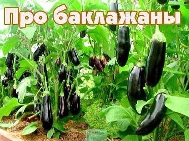 Заповеди для выращивания баклажан