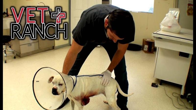 Vet Ranch на русском - Кровоточащая опухоль у боксера Huge Bloody Tumor