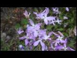 Ночные фиалки Night violets